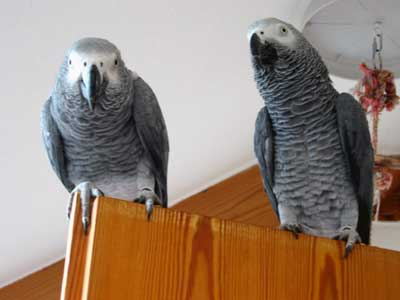 African Grey Parrot Eddie with his friend Nicki