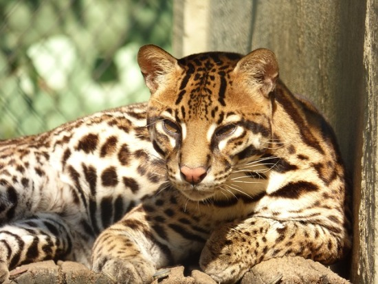 Some businesses are like ocelots